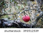 Apple In Late Autumn
