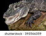 Small photo of Chinese alligator (Alligator sinensis)