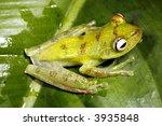 green tree frog  hypsiboas... | Shutterstock . vector #3935848