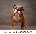 Stock photo gorgeous english bulldog puppy rack puppy months background wooden board 393585421