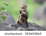 Cute Baby Baboon In African...