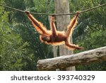 A Young Orang Utan Swings From...