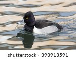 Small photo of Side view of a ring-billed duck (Aythya collaris, Marila collaris, Nyroca collaris)