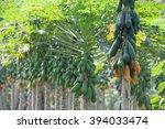 Papaya Trees In A Row