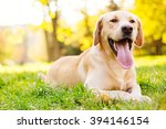 Stock photo smiling labrador dog 394146154