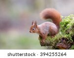 Stock photo red squirrel 394255264