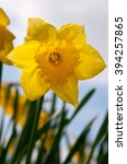 backlit daffodil. looking up... | Shutterstock . vector #394257865