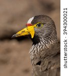Small photo of African Wattled Lapwing portrait