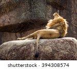 Yawning African Lion