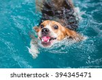 Young Beagle Dog Swimming In...