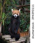 Small photo of Cute red panda (Ailurus fulgens) in wildlife