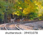 Three deer pause on an old railroad track in an autumn woods - stock photo