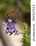 Small photo of beautiful shot of satyrium hairstreak butterfly resting on purple lavender flower close-up blurred background