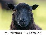 Face Of A Black Sheep Ewe...