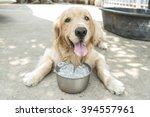 Hot Weather Golden Retriever...