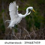 Great White Egret With Nesting...