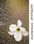 White Daffodils Flower Against...