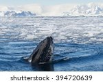 humpback whale looking from... | Shutterstock . vector #394720639