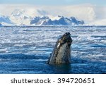 humpback whale looking from... | Shutterstock . vector #394720651