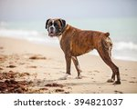 Boxer Dog Near The Sea