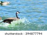 new mexico birds wild ducks ...   Shutterstock . vector #394877794