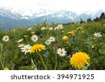 Alpine Meadow With Spring...
