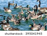 New Mexico Birds Wild Ducks ...