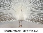 Albino Peacock With Tail...