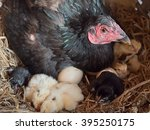 Hen And Newly Hatched Chickens