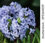 Small photo of Hyacinth A flower for people born on January 1 to 7, and also a symbol of rebirth. The salient features of high drug's health is a sweet aroma.