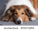 Purebred Rough Collie Dog...