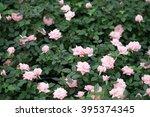 Stock photo pink rose in garden 395374345