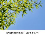 Fresh Green Bamboo Leafs On A...