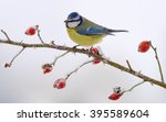 blue tit on a dog rose branch | Shutterstock . vector #395589604