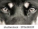 Dog  Eyes Expression