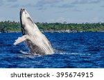 breaching humpback whale calf   Shutterstock . vector #395674915