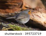 robin sitting on tree stump in... | Shutterstock . vector #395723719