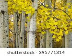 Golden Aspens At Autumn