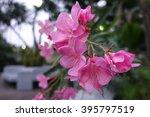 Flower Of A Pink Oleander ...