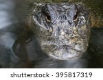Small photo of Alligator (Alligator Mississippiensis) Staring, Big Cypress National Preserve, Florida