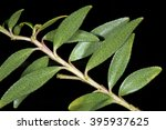 Small photo of Leaves of Buchu (Agathosma crenulata), a popular herbal medicine from South Africa