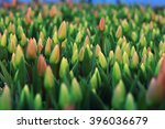 A Lot Of Yellow Tulips