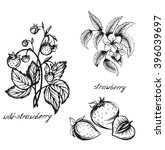 sketch of a strawberry flowers  ...   Shutterstock .eps vector #396039697