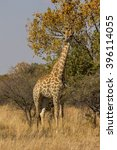 a giraffe in a south african... | Shutterstock . vector #396114055