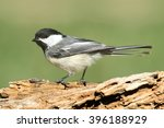 Black Capped Chickadee  Poecil...