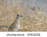Small photo of A roadrunner bird from southern New Mexico.