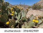 Prickly Pear Cactus Blooming...