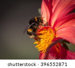 Bumble Bee Collecting Pollen...