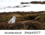 Stock photo the mountain hare lepus timidus also known as blue hare tundra hare variable hare white hare 396645577