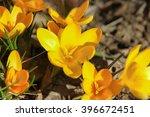 Yellow Crocus Chrysanthus...
